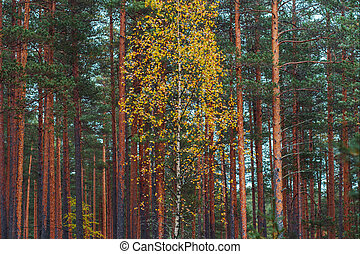 One slender white birch in a pine forest. Pine forest, gloomy autumn landscape.