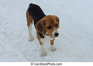 one small beagle dog stands on the road