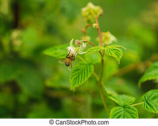 one small bee pollination flower on raspberry cane