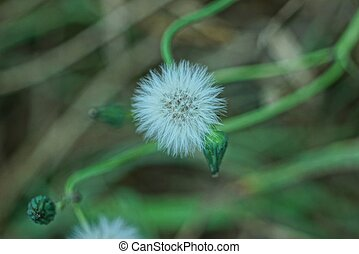 small dandelion in a spring park