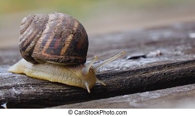 One snail on a wooden board in our garden
