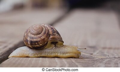 One snail on a wooden surface. side view - Big garden snail...