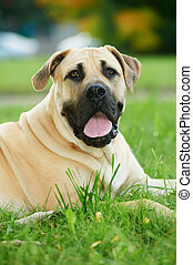 one South African Boerboel dog lying on green grass at autumn background