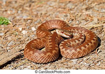 Vipera berus - One specimen of Vipera berus, common European...
