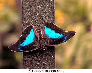 One Spotted Prepona (Archaeoprepona demophon) butterfly