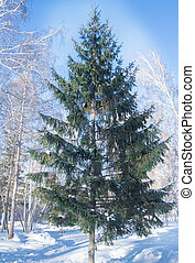 One tall fir tree in the winter forest, winter Christmas landscape