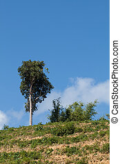 One tree on hill