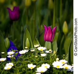 One Tulip Amung A Daisy Hill