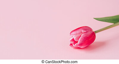 One tulip flower on a pink background.