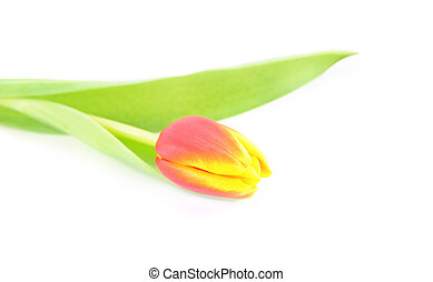 one tulip isolated on white background