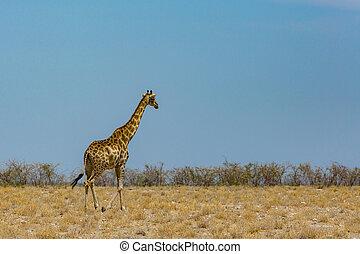 one walking male giraffe, savanna with bushes, blue sky