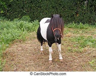 One white and black pony