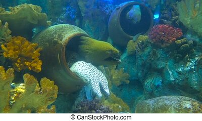 One white laced moray and two green morays using jugs as a holes in oceanarium