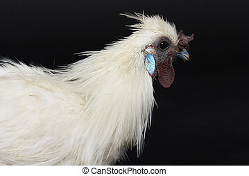 One white rooster close up portrait