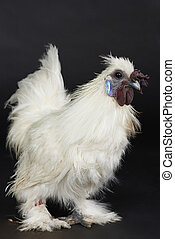 One white rooster