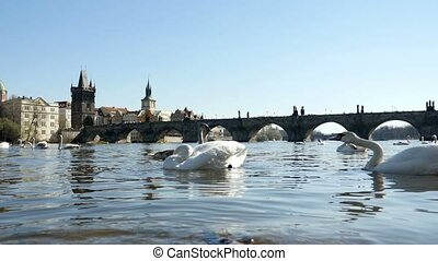One white swan attacks the tail of the second one on the Vltava river in slo-mo