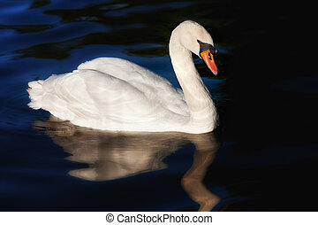 One white swan - One white graceful swan with water...
