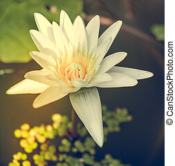 lotos flower - One white water lily lotos flower
