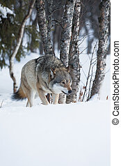 One Wolf sneaking in the forest