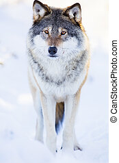 One wolf stands in beautiful winter forest - One wolf...