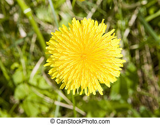 One yellow dandelion