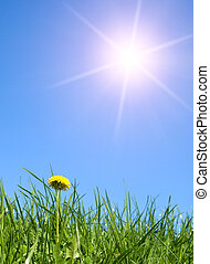 one yellow dandelion in young fresh green grass