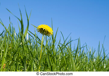 one yellow dandelion in young fresh green grass, spring