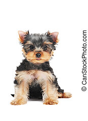 One little Yorkshire Terrier (3 month) puppy dog isolated over white background