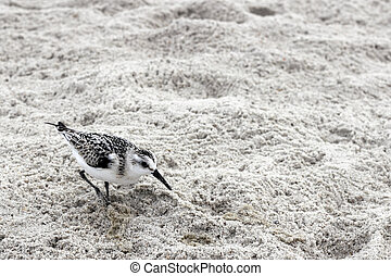 One young Snowy Plover bird in the gray white sand on a beach in North Carolina. One small Charadrius Nivosus or Snowy Plover bird in the sand closeup in Caswell Beach, NC.