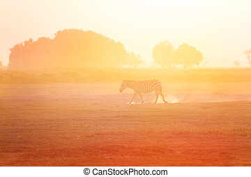 One zebra walking at sunset, Amboseli, Africa