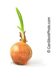Onion (Allium cepa) - Sprouting onion (Allium cepa) isolated...