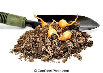 Onion Bulbs with Soil