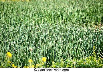 Onion field.