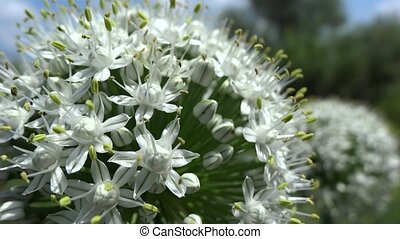 onion flower close up in the breeze