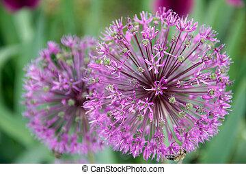 Onion flower decoration, Latin. Allium hollandicum