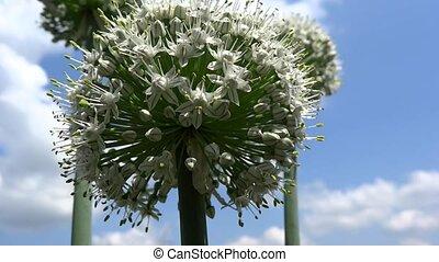 onion flower presentation - onion flower presentation