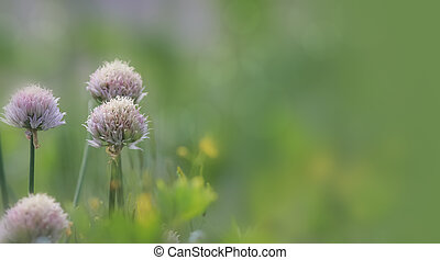 Onion flowers in the garden