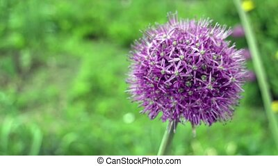 onion giant flower - giant purple alium onion flower close...
