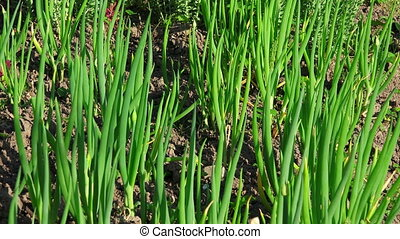 Onion growing in the garden.