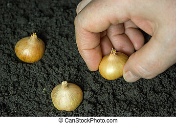 Onion grows in the ground