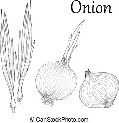 Onion hand drawn set Vintage retro background with sketch onions.