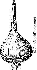 Onion or Allium cepa, vintage engraving - Onion or Allium ...
