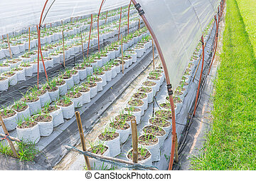Onion Plant Agriculture Farm in Sunshade Green House.