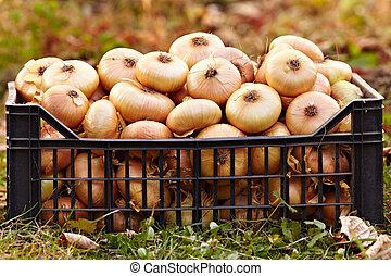 Onions in a crate on the grass