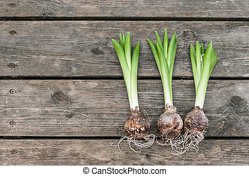 Onions on a wooden table