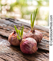 Onions, Red onions with small leaves on old weathered wooden...