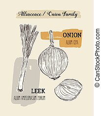 Onions sketch. Onion hand drawn set. Herbs and spices vector...