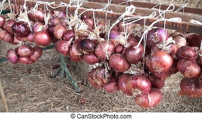 String of red onions which have just been harvested