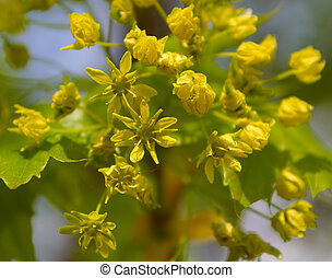 Only the dismissed flowers of a linden, it is photographed in the early spring