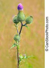 Onopordum acanthium flower, close up view